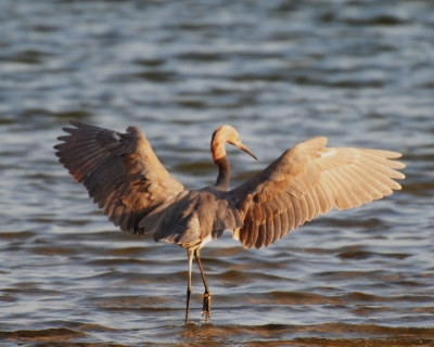 Reddish Egret-open Wings