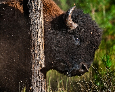 Bison Vs Tree
