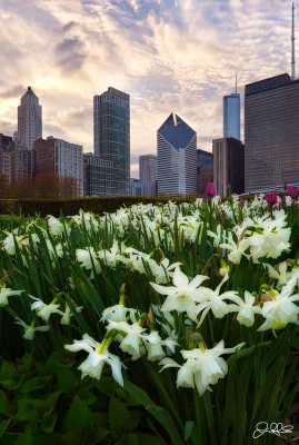 Lurie Garden Daffodils…