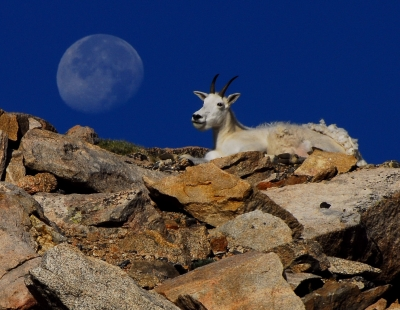Mountain Goat Moonset