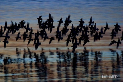 Sandpipers At Dusk