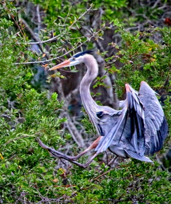 Great Blue Heron Awkward Landing In A Tree