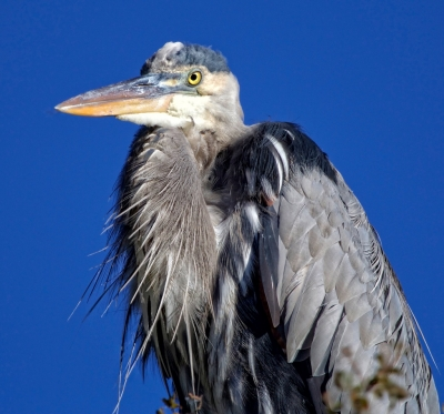 Great Blue Heron On A Beautiful, Clear Day