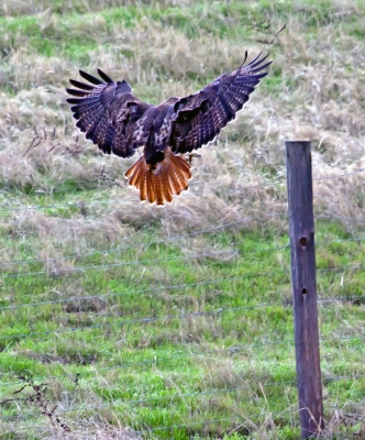Red Tail Hawk Landing