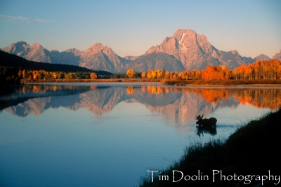 Bull Moose At Oxbow Bend