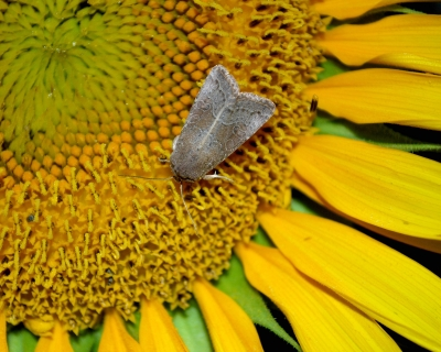 Moth & Sunflower