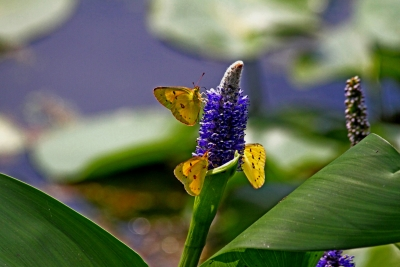 Sulfur Butterflies On Pickerel Weed