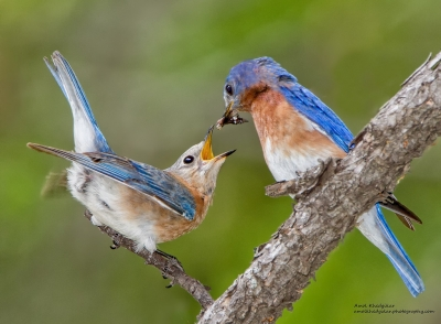 Blue Birds Feeding While Courting