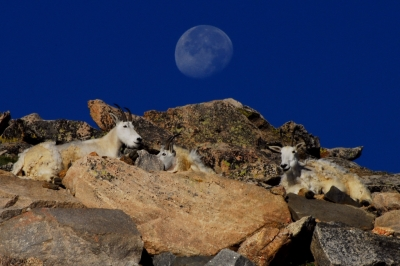 Mountain Goat Moonrise Ii