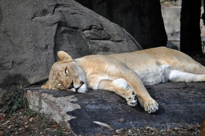 Laizy Lioness Sleeping