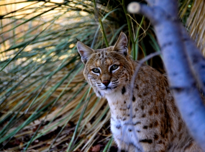 Encounter With A Bobcat
