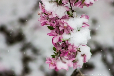 Spring Snow Blossoms