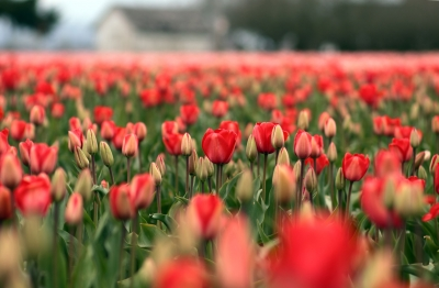 Field Of Red Tulips In Early Spring