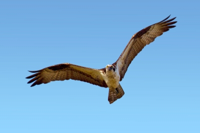 Osprey Swooping Down To Inspect The Photographer