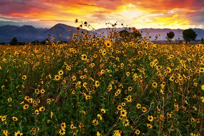 Sierra Sunflower Sunset