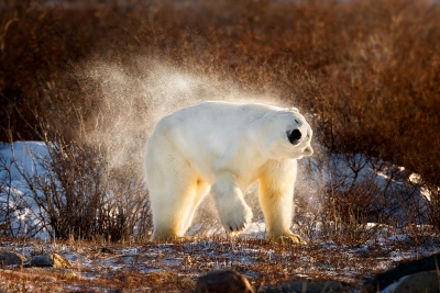 Polar Bear Shaking Off The Snow