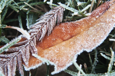 Pair Of Frosted Leaves