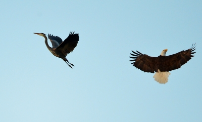 Blue Heron Gets Chased By A Bald Eagle In A Territorial Challenge