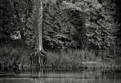 Tree Roots, Merced River