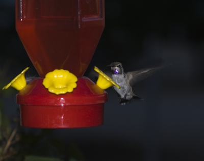 Male Baby Hummingbird