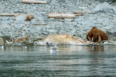 Grizzly And Wolf Dine On Whale Carcass