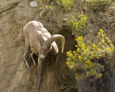 Male Big Horn Sheep Losing His Footing
