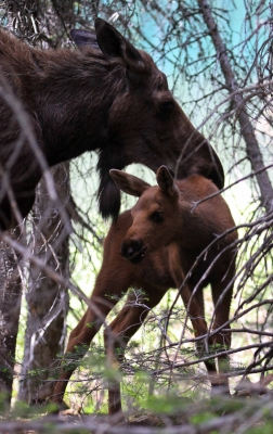 Mama Moose And Calf