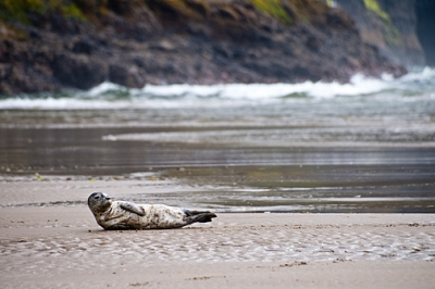 Seal At Cape Lookout