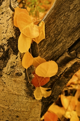 Aspen Leaves Add Color To The Trunk Of An Aspen Tree