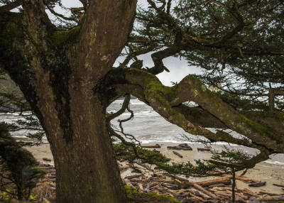 Spruce Tree At Crescent Beach
