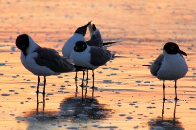 Laughing Gulls At Sunrise