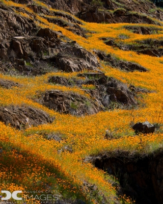 Rivers Of Poppies