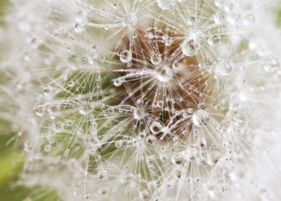Morning Dews On Dandelion