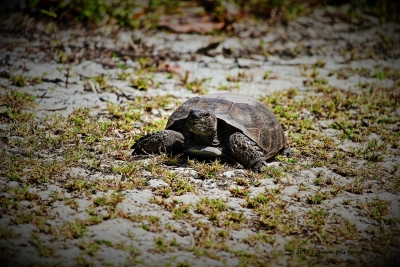 Snapper Turtle