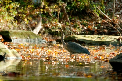 Blue Heron In The Autmn Flow