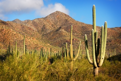 Giant Saguaro Forest
