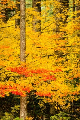 Fall Foliage, Silver Falls State Park, Or