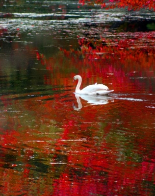 The Swan Of Fall