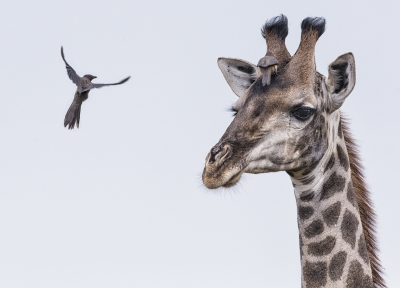 Red-billed Oxpekcers And Giraffe
