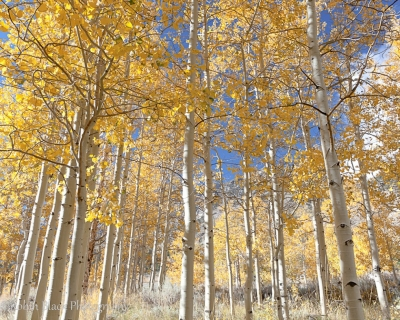 Afternoon Light On Golden Aspens