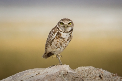 Burrowing Owl, Owens Lake West Shore