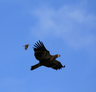 Fledging Eagle And Friend