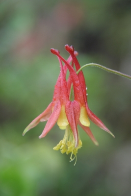 Red Columbine In The Rain