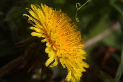 Profile Of A Dandelion