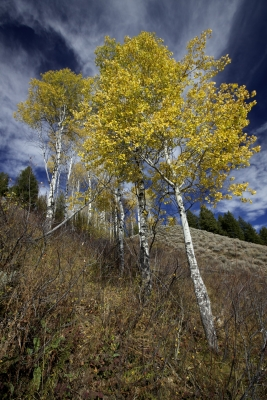 Aspens In Fall Near Teton Village