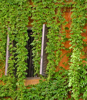 Curtain Of Ivy