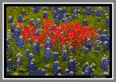 Indian Paintbrush And Blubonnets