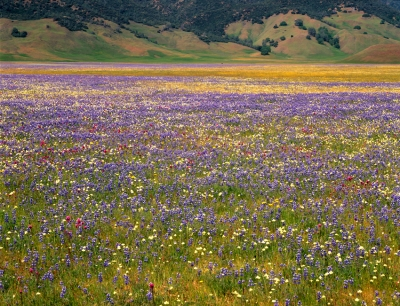 Bear Valley Wildflowers