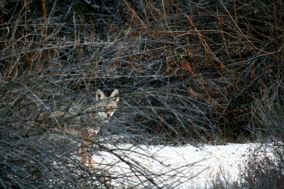 Coyote In Wash