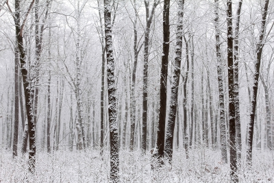Fresh Snowfall In An Oak Savanna